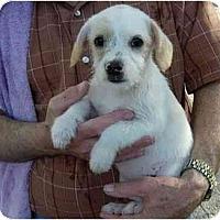 Adopt A Pet :: Labradoodle Boys - Kingwood, TX