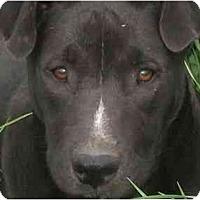 Adopt A Pet :: Misty - Albany, NY