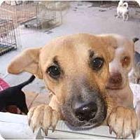 Adopt A Pet :: MOMMA GIRL - SCOTTSDALE, AZ