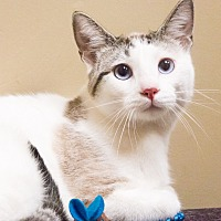 Siamese Cat for adoption in Chicago, Illinois - Herman