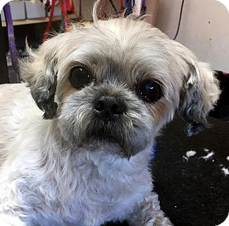 Shih Tzu Dog for adoption in Tijeras, New Mexico - Tyler