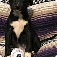 Adopt A Pet :: Dr. Pepper - Garden City, MI