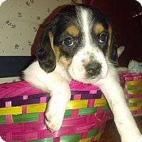 Adopt A Pet :: Maya - Cincinnati, OH