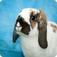 Adopt A Pet :: Dharma - Pflugerville, TX