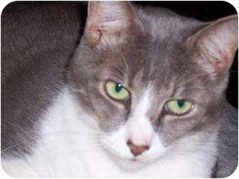 Domestic Shorthair Cat for adoption in Melbourne, Florida - Nick