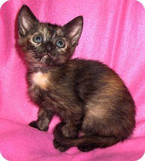 Domestic Shorthair Kitten for adoption in Richmond, Virginia - Sprinkles
