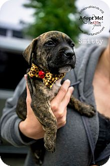 Rat Terrier/Boxer Mix Puppy for adoption in Burbank, California - Smitty - 8 wk old puppy