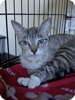 Siamese Kitten for adoption in Huntington Station, New York - SIMONE