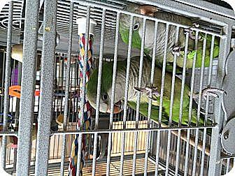 Parakeet - Quaker for adoption in Punta Gorda, Florida - Paco & Maxine