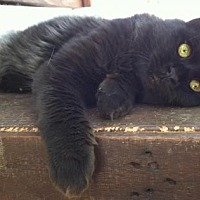 Domestic Mediumhair Kitten for adoption in Sherman Oaks, California - Lars