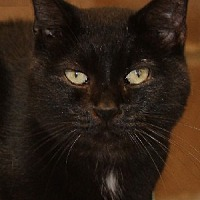 Domestic Shorthair Cat for adoption in Savannah, Missouri - Bobbie