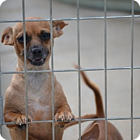 Dachshund Mix Dog for adoption in Wilminton, Delaware - Madrid