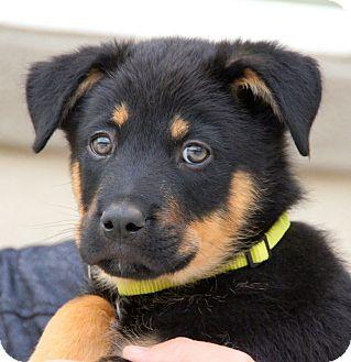 German Shepherd Dog Mix Puppy for adoption in Thousand Oaks, California - Melbourne von Portia