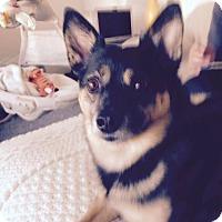 Pomeranian/Terrier (Unknown Type, Medium) Mix Dog for adoption in Warsaw, Indiana - Stanley