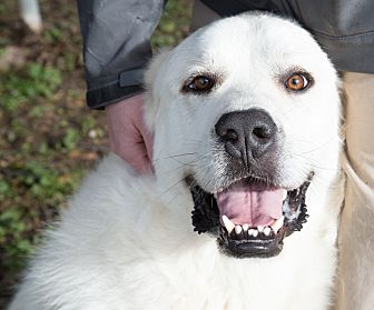 Great Pyrenees/Labrador Retriever Mix Dog for adoption in Granite Bay, California - SCOUT