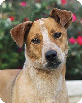 Australian Cattle Dog Mix Dog for adoption in San Antonio, Texas - Keith