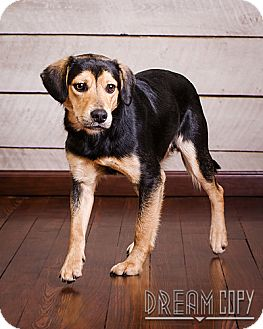 Beagle/Shepherd (Unknown Type) Mix Dog for adoption in Owensboro, Kentucky - Carl