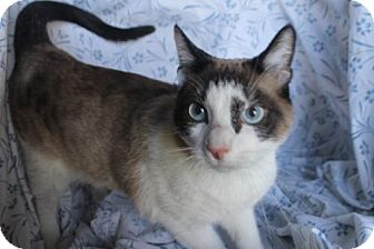 Snowshoe Cat for adoption in Morehead, Kentucky - Humphrey ADULT MALE