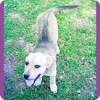 Adopt A Pet :: LUCY - Sweet! - Chandler, AZ