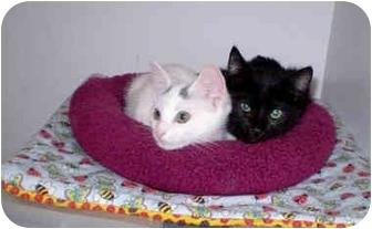 Domestic Shorthair Kitten for adoption in Boston, Massachusetts - Ebony