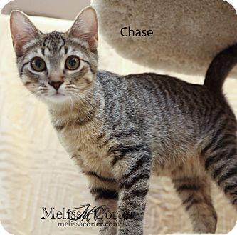 Domestic Shorthair Kitten for adoption in Phoenix, Arizona - Chase