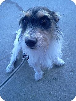 Jack Russell Terrier Dog for adoption in Rochester, Michigan - Rebel