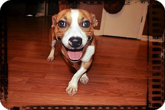 Jack Russell Terrier/Basset Hound Mix Dog for adoption in Homewood, Alabama - Nate