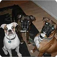 Boxer Puppy for adoption in Jacksonville, Alabama - FOSTER A BOXER!