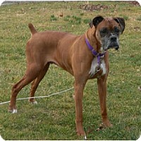 Adopt A Pet :: Vito - Love Bug Senior! - Grafton, MA