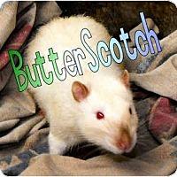 Adopt A Pet :: Butterscotch - Las Vegas, NV