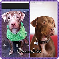 Adopt A Pet :: Frankie - bridgeport, CT
