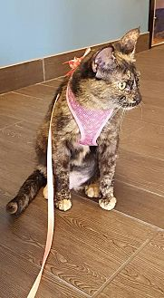 Domestic Shorthair Cat for adoption in Orlando, Florida - Hope