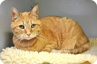 Domestic Shorthair Cat for adoption in Northbrook, Illinois - Charlee