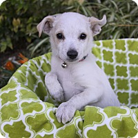 Adopt A Pet :: COMET - Newport Beach, CA