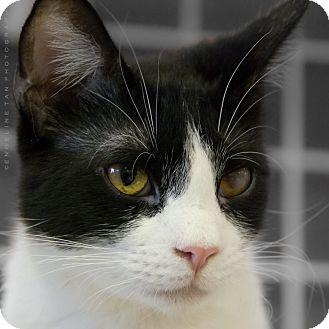 Domestic Shorthair Cat for adoption in Houston, Texas - EDDIE