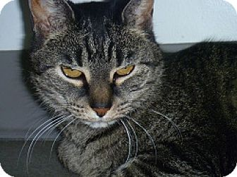 Domestic Shorthair Cat for adoption in Hamburg, New York - Ezzy
