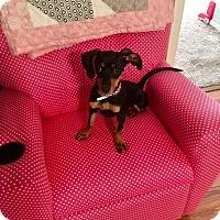 Adopt A Pet :: Bella - Pearland, TX