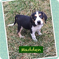 Adopt A Pet :: Madden - Fort Wayne, IN