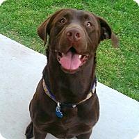 Labrador Retriever Dog for adoption in Coppell, Texas - Ruger