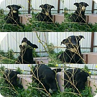 Adopt A Pet :: Pax - Denver, CO