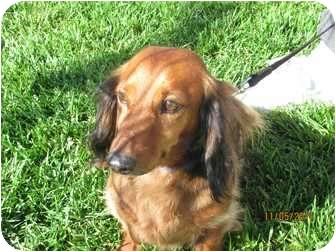 Dachshund Dog for adoption in Garden Grove, California - Teddy