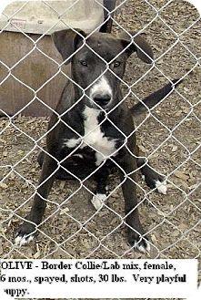 Border Collie/Labrador Retriever Mix Puppy for adoption in Moulton, Alabama - Olive