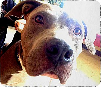 American Staffordshire Terrier/American Pit Bull Terrier Mix Dog for adoption in Bastrop, Texas - Phoenix