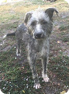 Terrier (Unknown Type, Medium) Mix Dog for adoption in Boca Raton, Florida - Carol