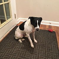 Border Collie Mix Dog for adoption in Evansville, Indiana - Petey (Courtesy Listing from Oak Lawn, IL)