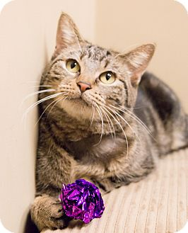 Domestic Shorthair Cat for adoption in Chicago, Illinois - Angeline