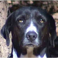 English Pointer Mix Dog for adoption in Tyler, Texas - TG-Baby Girl