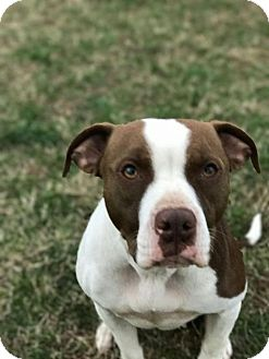 Pit Bull Terrier Dog for adoption in Christiana, Tennessee - Daffodil