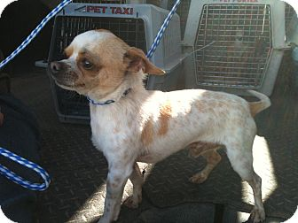 Chihuahua Dog for adoption in Phoenix, Arizona - Squirt