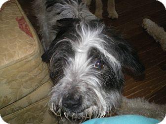 Schnauzer (Miniature)/Terrier (Unknown Type, Medium) Mix Dog for adoption in Apex, North Carolina - Jessi